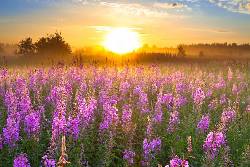 Aménagez en parc avec le lever de soleil et les fleurs de floraison de pourpre de pré photo stock