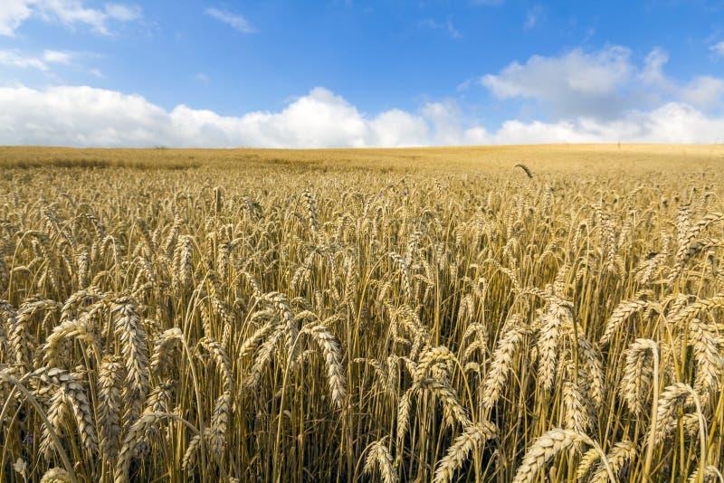 Aménagez en parc avec les cultures jaunes colorées chaudes de blé le jour ensoleillé sur les terres cultivables rurales photos libres de droits