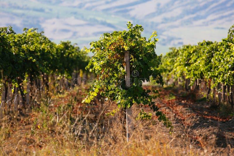Aménagez en parc avec les vignobles et les montagnes verts au fond photographie stock libre de droits