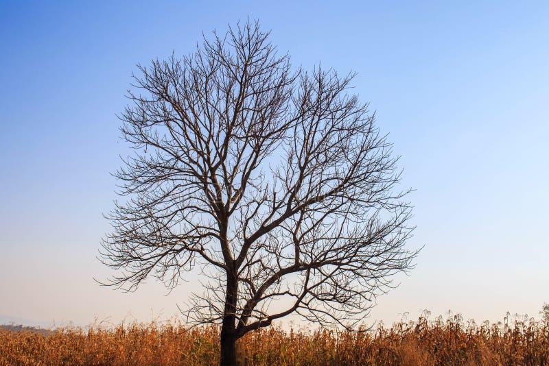 Aménagez en parc avec un arbre solitaire dans un domaine de maïs image libre de droits