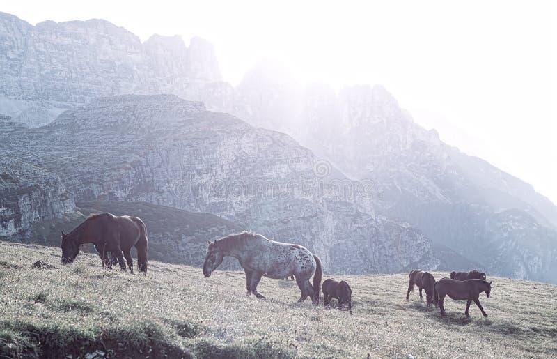 Aménagez l'Italie en parc, dolomites - aux chevaux de lever de soleil frôlez sur les roches stériles images stock