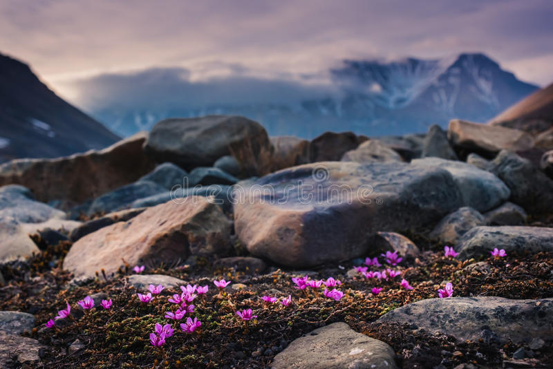Aménagez la nature en parc des montagnes de Spitzbergen Longyearbyen le Svalbard un jour polaire avec les fleurs arctiques pendan photographie stock