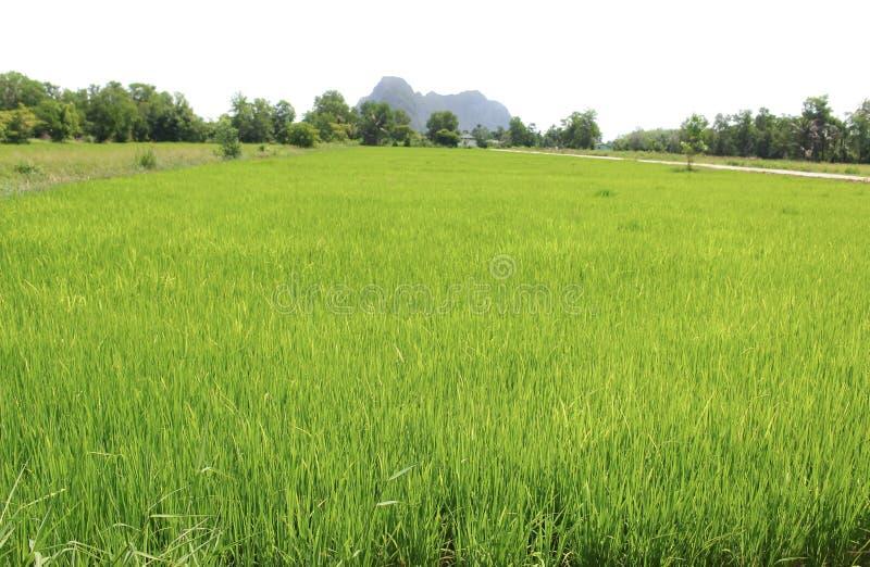 Aménagez le champ de maïs en parc à l'arrière-plan de blanc de la Thaïlande de campagne photographie stock libre de droits
