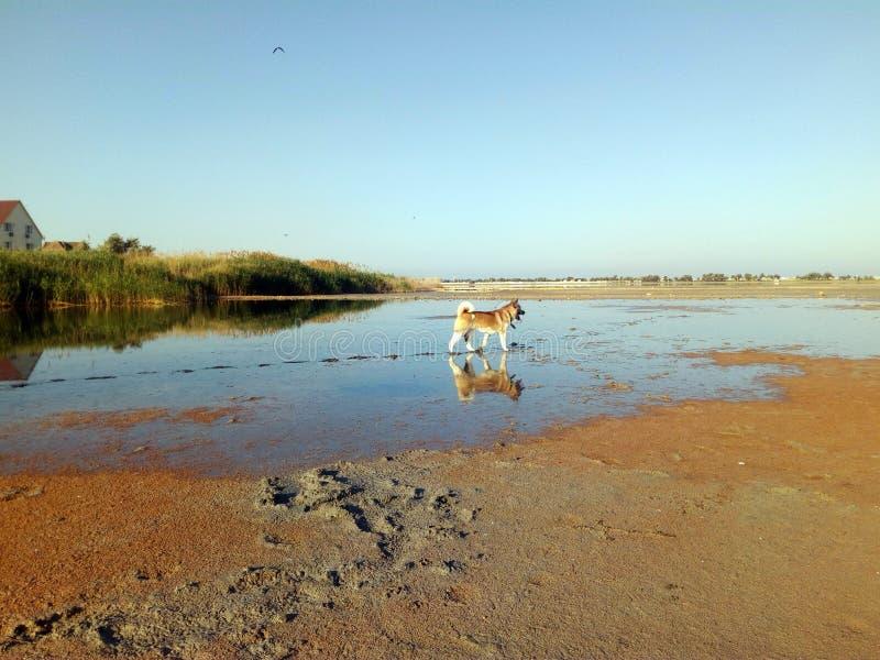 Américain Akita sur la réflexion de lac dans l'eau photo stock