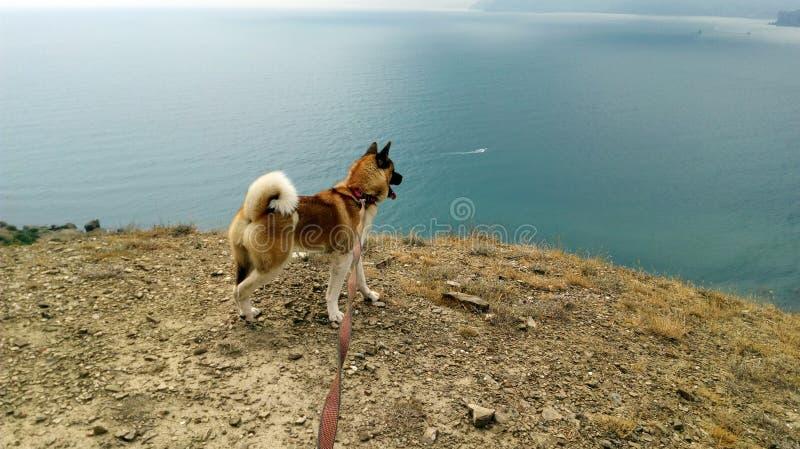Américain Akita sur le haut rivage regardant la mer photographie stock libre de droits