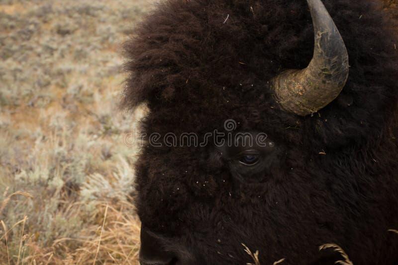 Américain Bison Head Detail de parc national de Yellowstone d'oeil image libre de droits