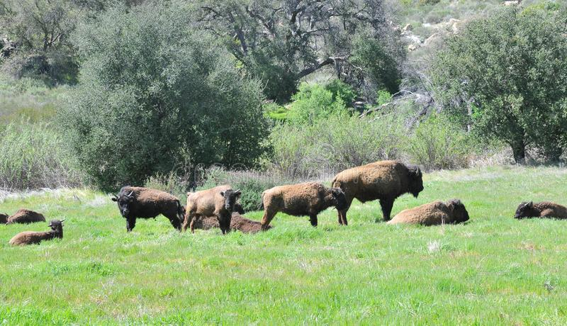 Américain Bison Herd en San Diego County California photos libres de droits