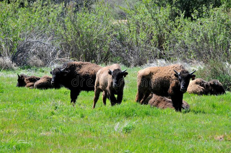 Américain Bison Herd en San Diego County California photographie stock