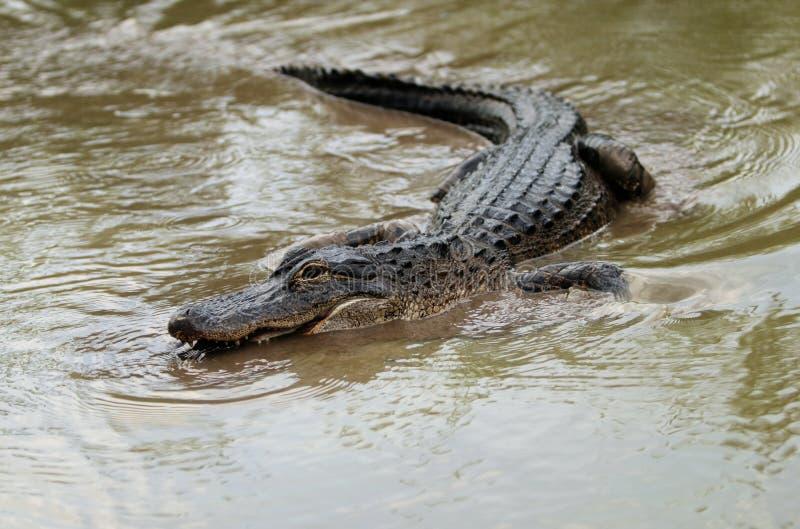 Américain d'alligator images stock