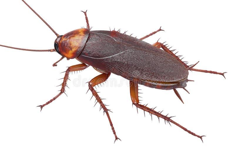 Américain d'insecte de cancrelat image stock