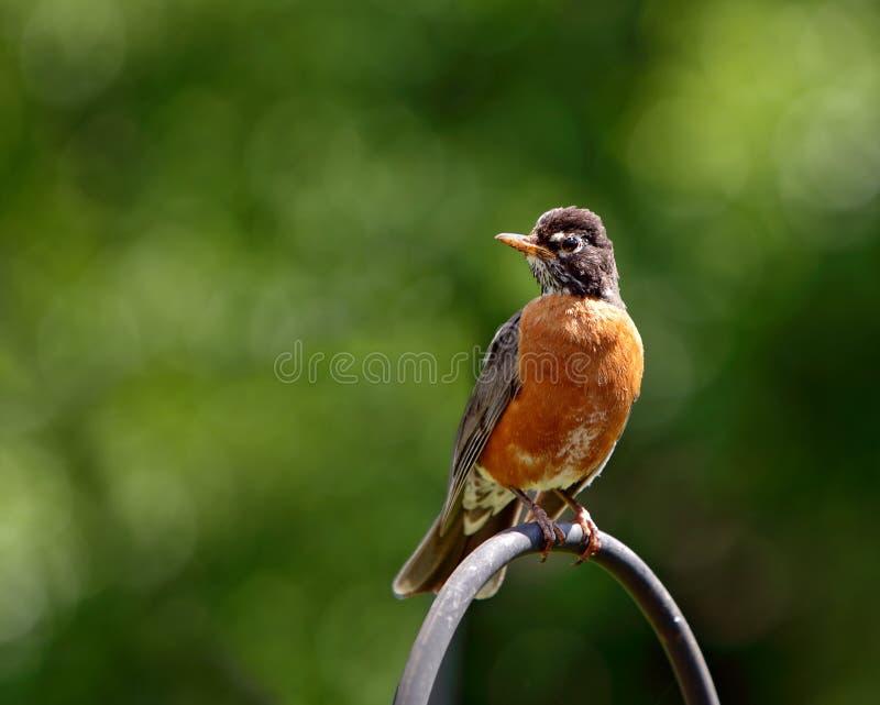 Américain simple Robin photographie stock libre de droits