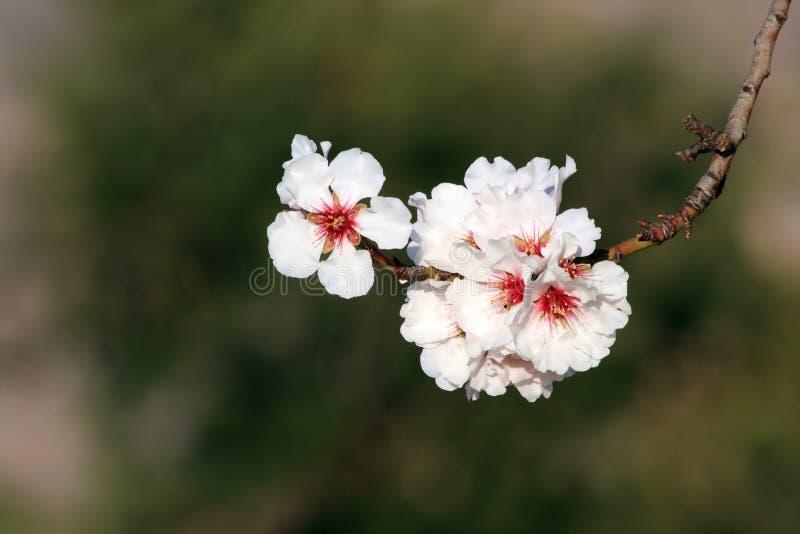 A amêndoa branca bonita floresce em janeiro fotos de stock royalty free