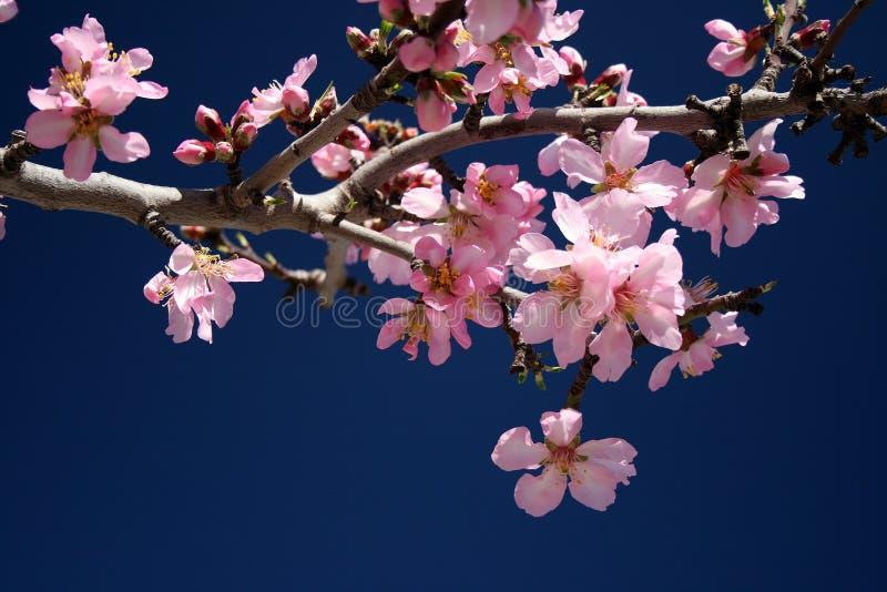 A amêndoa branca bonita floresce em janeiro foto de stock royalty free