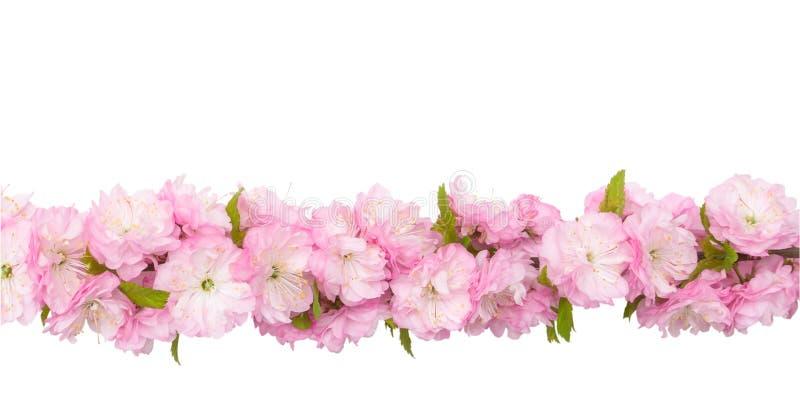 A amêndoa cor-de-rosa floresce no ramo com as folhas verdes isoladas no fundo branco com trajeto de grampeamento Ascendente horiz fotos de stock