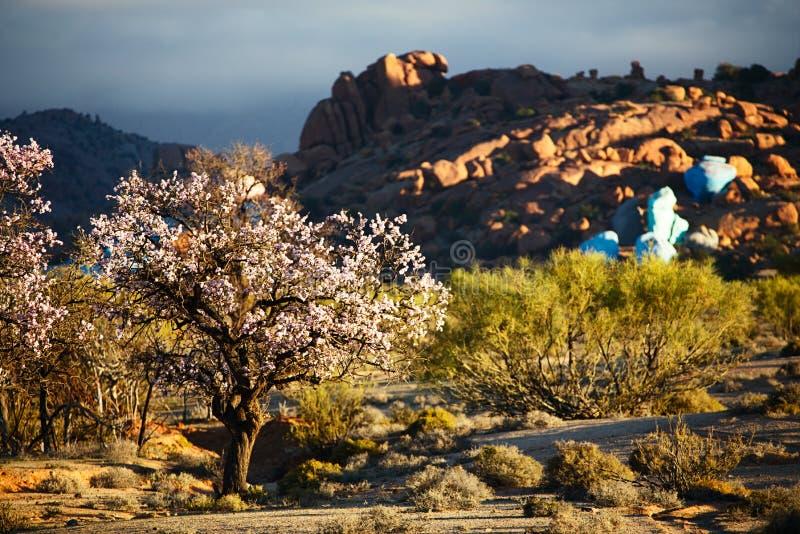 Amêndoa de florescência em Tafraout, Marrocos imagem de stock