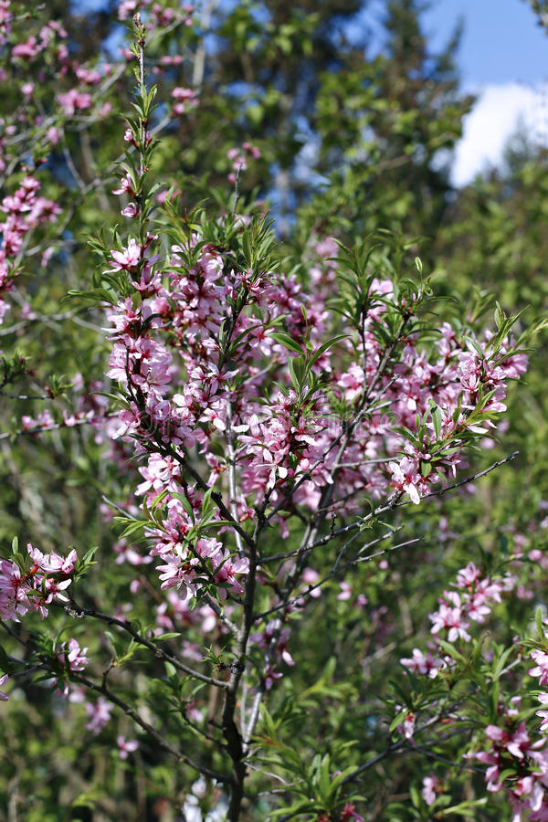 A amêndoa do estepe do arbusto, flores cor-de-rosa de florescência fotografia de stock royalty free