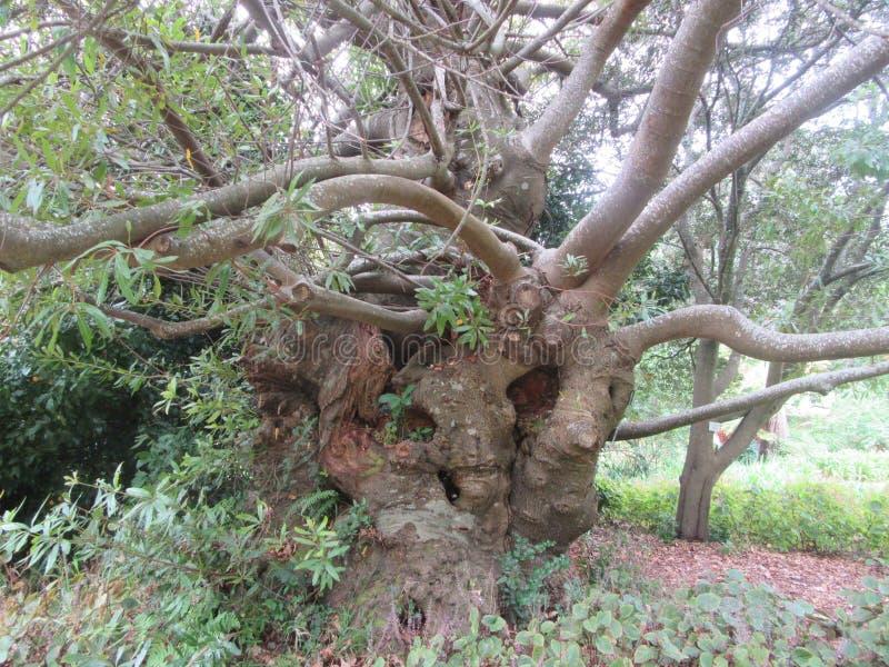 Amêndoa selvagem da árvore dos anos de idade cem e quarenta imagens de stock