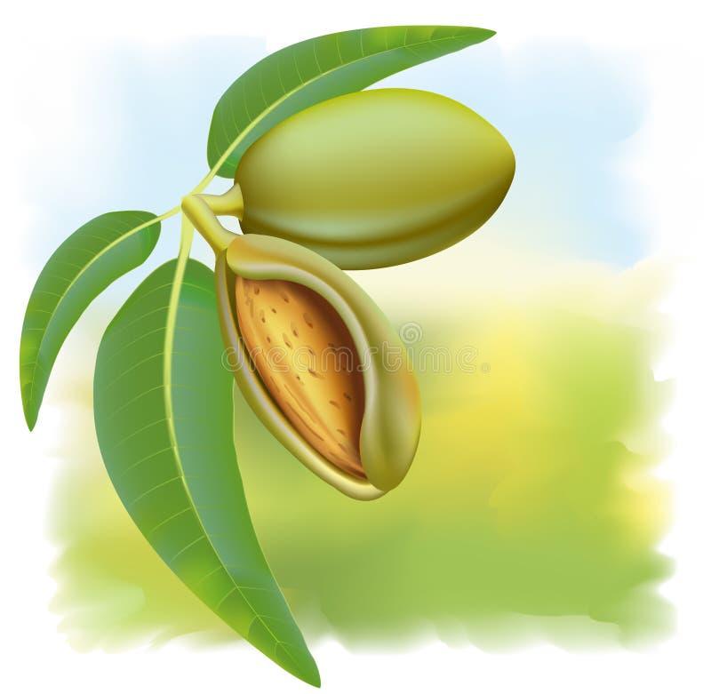 Amêndoas. Ramifique com folhas e frutas. ilustração stock