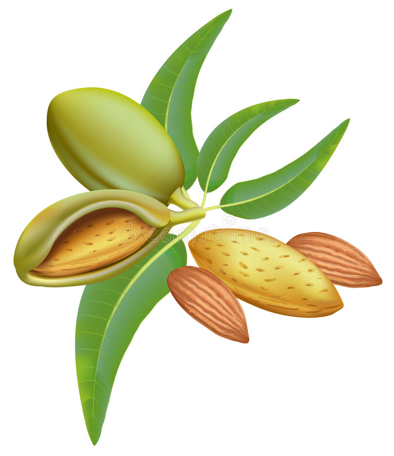 Amêndoas. Ramifique com folhas e frutas. ilustração do vetor