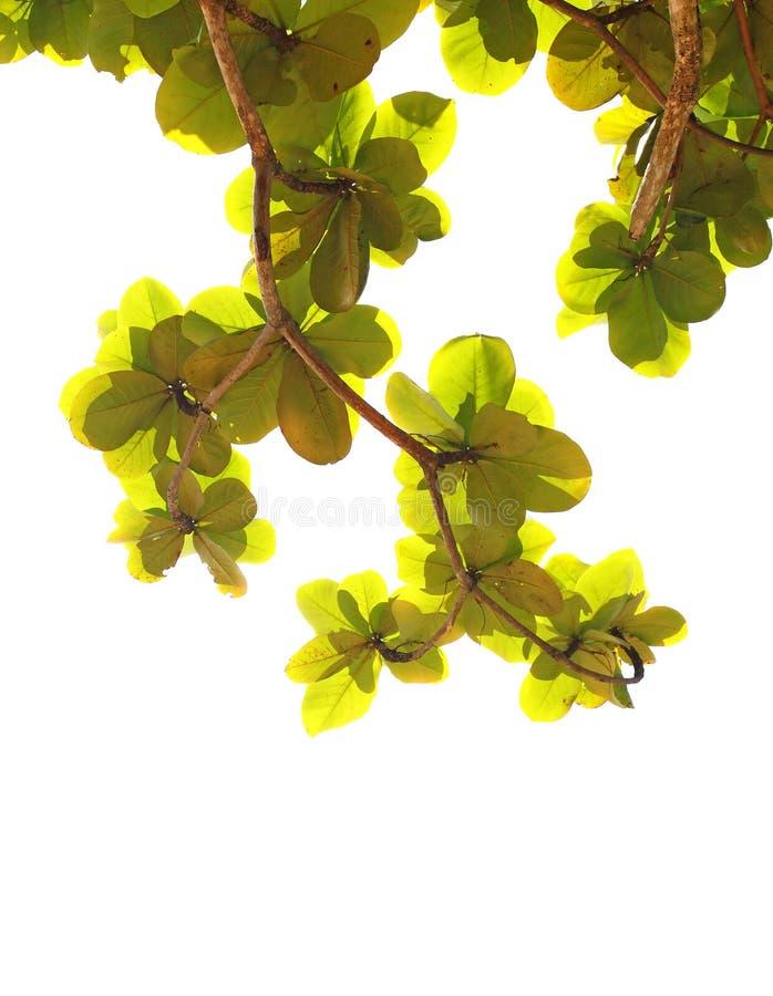 Amêndoas unripe verdes fotografia de stock royalty free