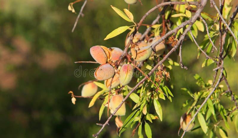 Amêndoas verdes na árvore de amêndoa foto de stock