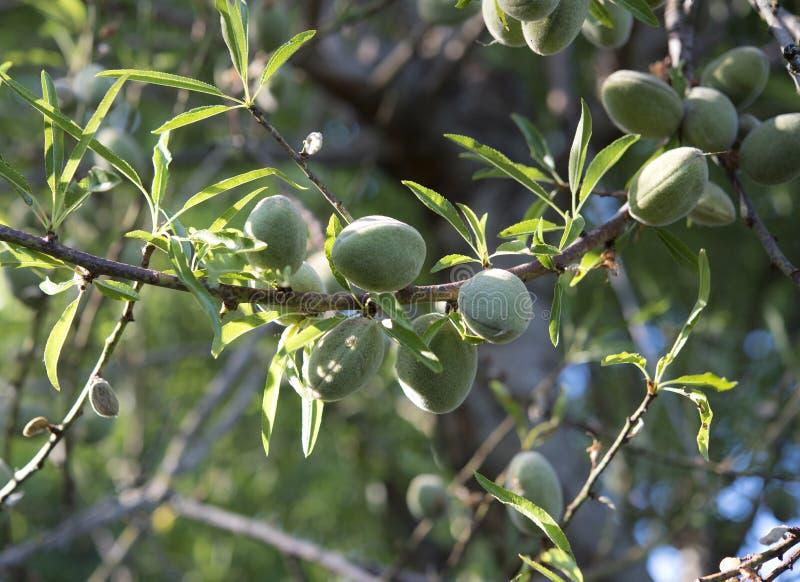 Amêndoas verdes na árvore de amêndoa imagens de stock royalty free