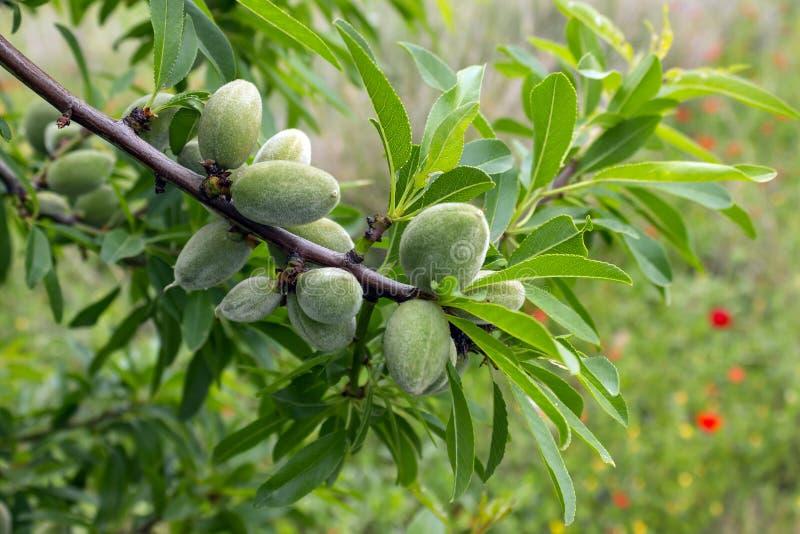 Amêndoas verdes na árvore de amêndoa Dia de mola ensolarado em Grécia imagem de stock royalty free