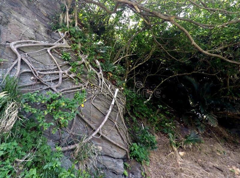Ama Fig Roots sobre Rocky Headland, Okinawa foto de archivo