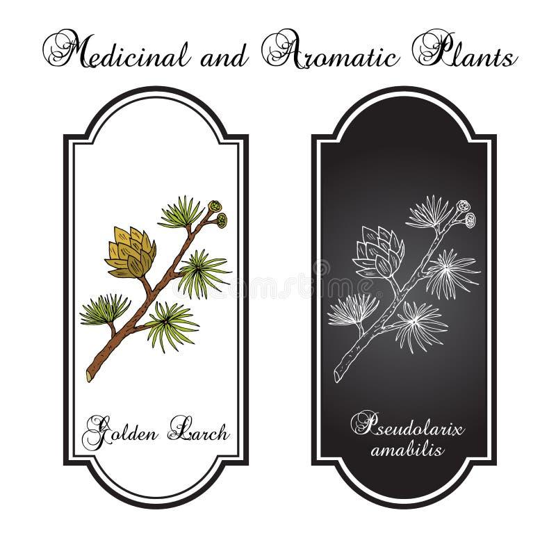 Amabilis de Pseudolarix de mélèze d'or, plante médicinale illustration libre de droits
