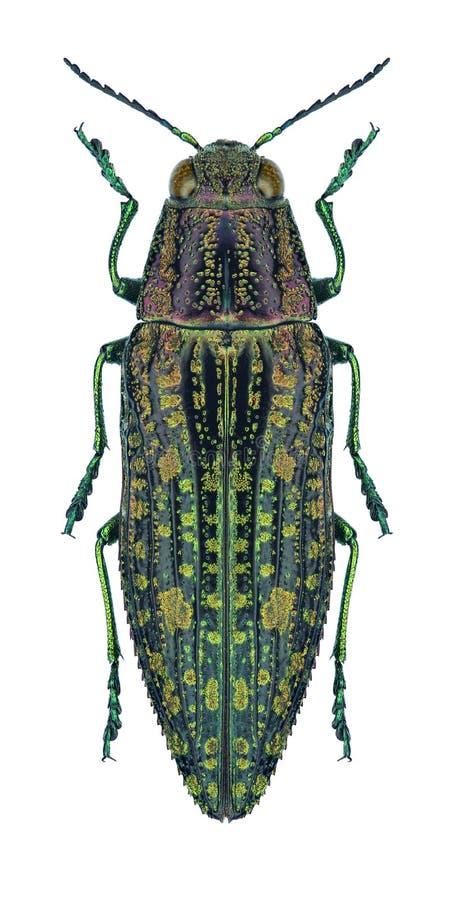 Amabilis en bois métalliques de Nipponobuprestis de foreur de scarabée image libre de droits