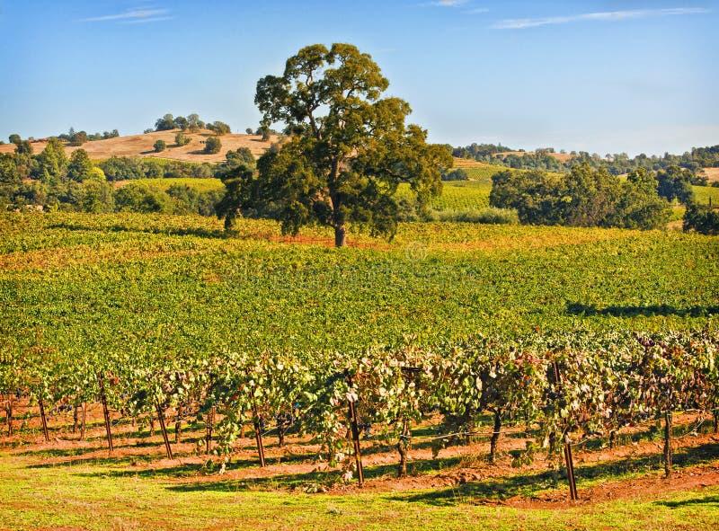 Amador-Grafschaft-Weinberg, Kalifornien lizenzfreie stockfotografie