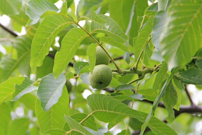 Amadurecimento de fruto do juglans regia entre a folha verde na árvore Porca que cresce no ramo fotografia de stock