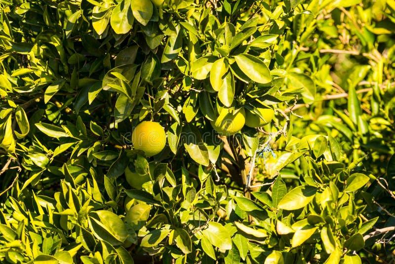 Amadurecimento de fruto verde no arbusto imagens de stock royalty free