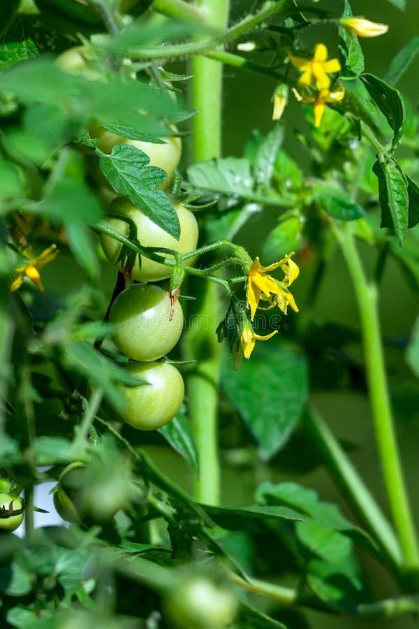 Amadurecimento em frutos verdes pequenos do arbusto de tomates de cereja foto de stock royalty free