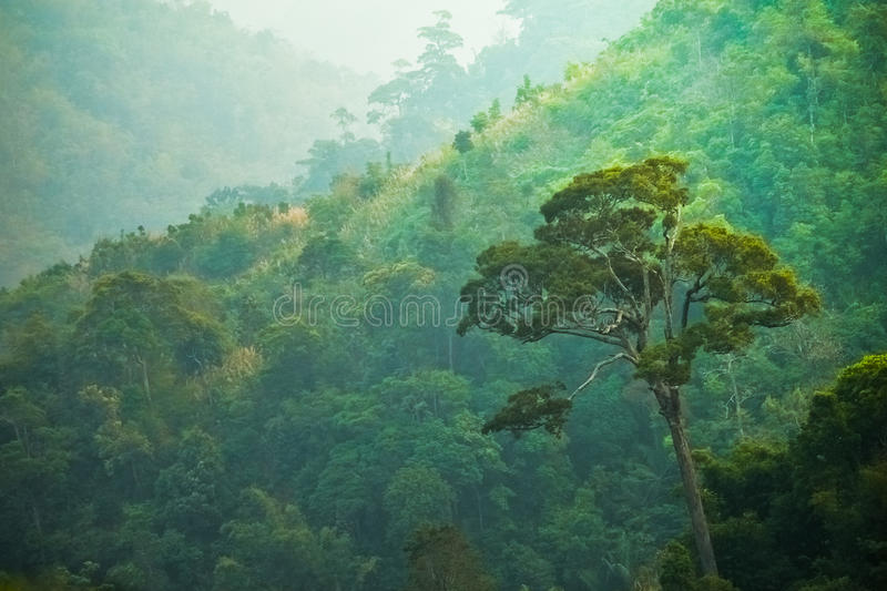 Amaing Big Tree In Green Forrest,thailand. Royalty Free Stock Images
