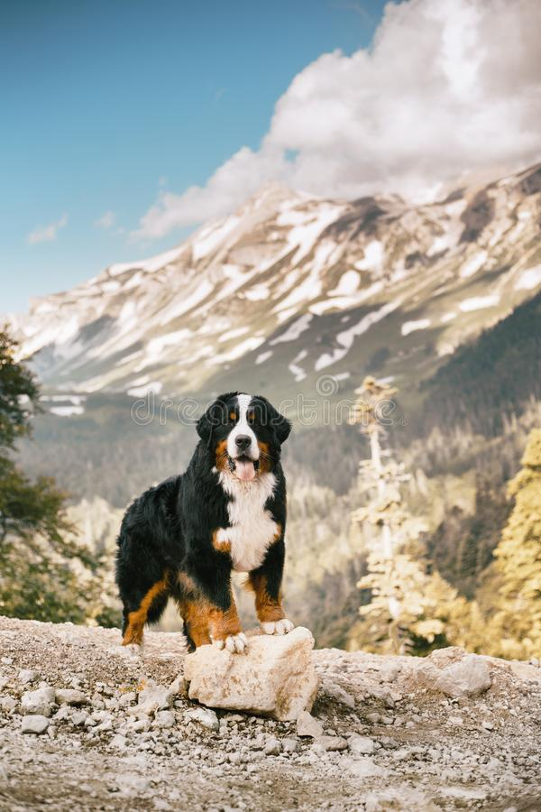 portrait beautiful happy Bernese mountain dog stay on road. high rocks on background royalty free stock photography