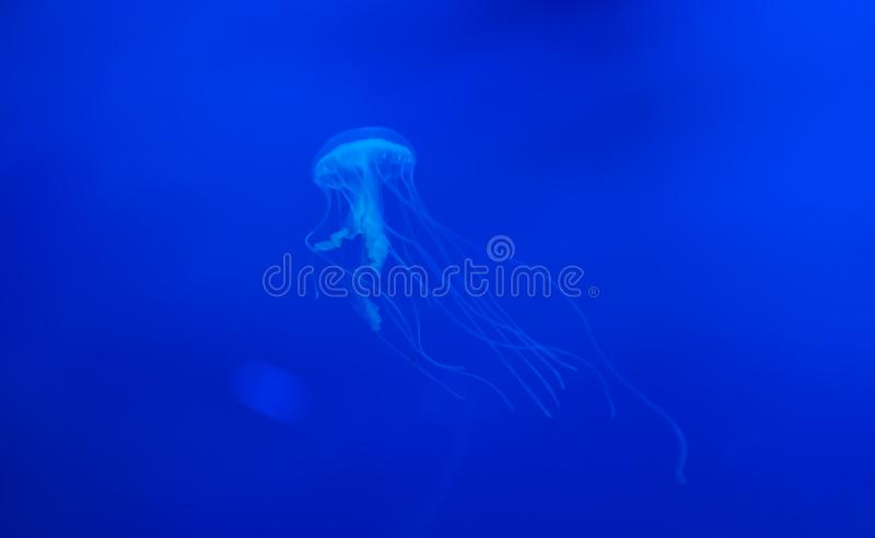 Amakusa jellyfish or Sanderia malayensis. Amakusa are a common jellyvorous jellyfish seen in South coast of Japan in summer. They have 32 lappets, 4 oral arms royalty free stock photography