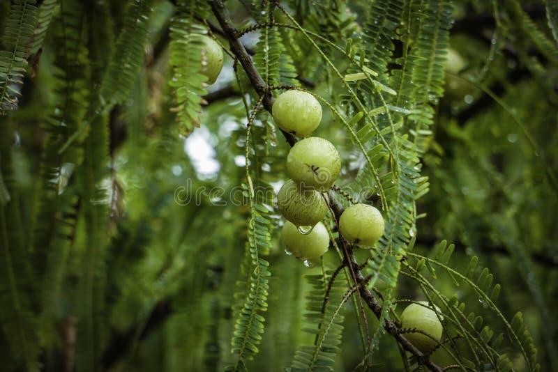 Amalakifruit - Krachtige Gezondheidsvoordelen van het Indische Fruit royalty-vrije stock afbeelding