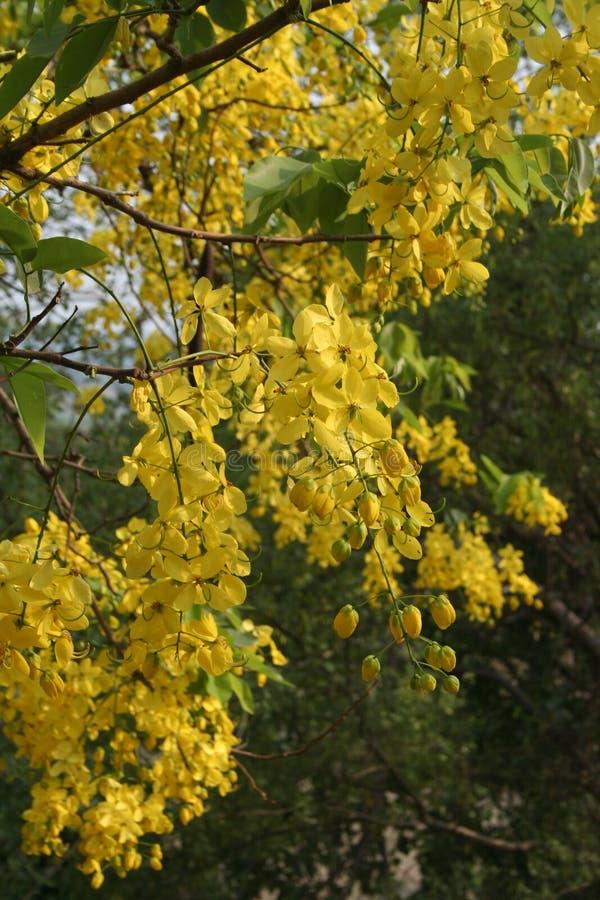 amaltas kwiatów ind lato kolor żółty fotografia royalty free