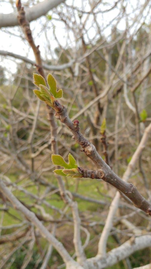 Amande-arbre photographie stock libre de droits