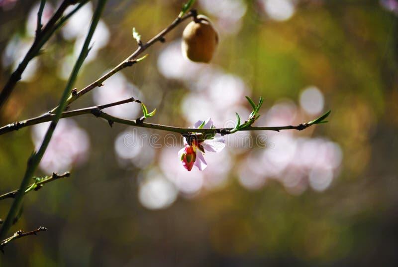 Amande de floraison dans Tafraout,毛罗茨2 库存照片