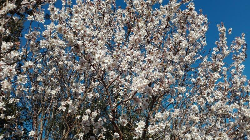 Amande fleurie photos stock