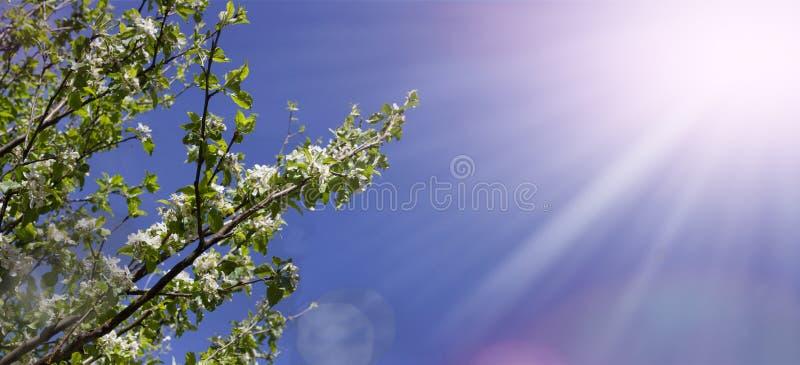 Amande fleurie photos libres de droits