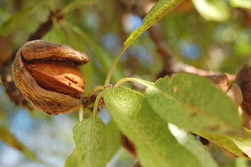 Amande sur l'arbre photos libres de droits