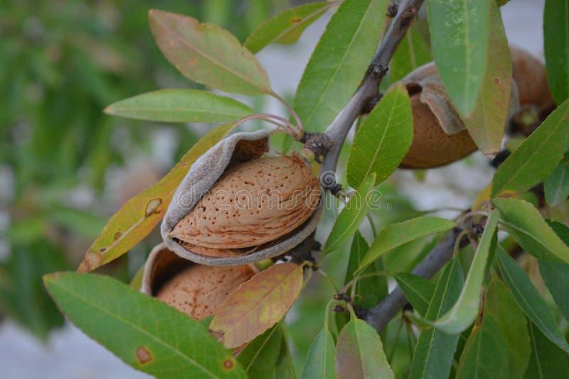 Amandel op boom, close-up van noot in schil royalty-vrije stock afbeeldingen