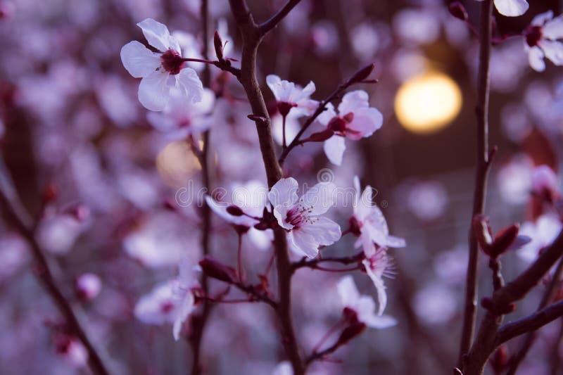 Amandel witte zonsondergang stock afbeeldingen
