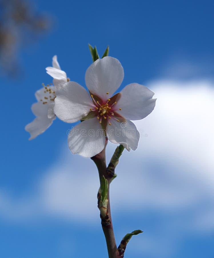 Amandelbloemen stock afbeelding