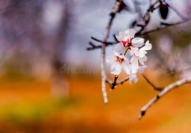 Amandelbloemen royalty-vrije stock afbeeldingen
