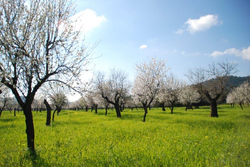 Amandelbomen in bloei en een schone hemel stock foto's