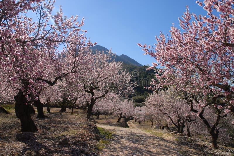Amandelboomgaard met bomen in roze bloesem worden behandeld die royalty-vrije stock fotografie